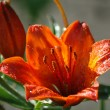 Stock Photo: Day-lily