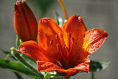 Day-lily — Stock Photo