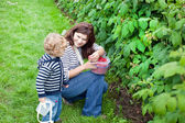 Young mother and her toddler picking raspberries on organic farm — Foto Stock