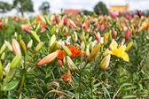 Kwiat pole z kolorowych lilii — Zdjęcie stockowe