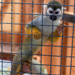 In the monkey cage at the zoo - Stock Photo