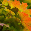 Red and yellow maple leaves on a twig in autumn — Stock Photo