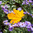 Yellow maple leaf with lila flowers — Stock Photo