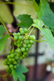 Green grapes on branch in greenhouse — Stock Photo