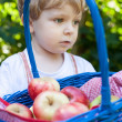 Little toddler boy holding big basket with fresh apples — Stock Photo