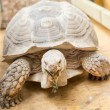 Giant tortoise chewing grass in a zoo — Stock Photo
