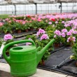 Greenhouse with blooming geranium flowers - Stock Photo