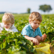 Two little boys on organic strawberry farm — Stock Photo