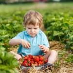 Little toddler boy on organic strawberry farm — Stock Photo #28554363