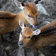 Young deer roe baby and deer mother — Stock Photo