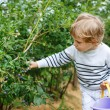 Little boy picking blueberry on organic self pick farm — Stock Photo