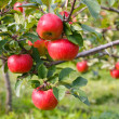 Red ripe apples on tree in orchard. — Stock Photo