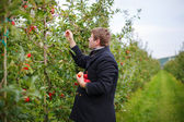 Young man picking red apples in an orchard — Stock Photo