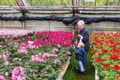 Abuela con chico en invernadero con flores de geranio — Foto de Stock