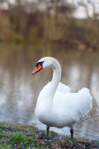 White swan on a spring lake, Germany — Stock Photo