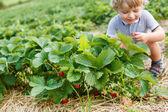 Happy little toddler boy on pick a berry organic strawberry farm — Foto de Stock