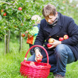 Young man picking red ripe apples in fruit garden with his littl — Stock Photo