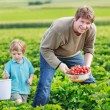 Father and little boy of 3 years on organic strawberry farm in s — Stock Photo #43781891