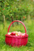 Organic red apples in a Basket outdoor. Orchard. Autumn Garden. — Stock Photo