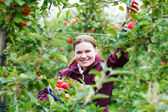 Young woman picking red apples in an orchard — Stock Photo
