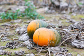 Pumpkin field with a lot of big pumpkins — Stock Photo