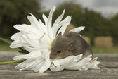 Small mouse with the flower — Stock Photo