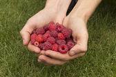 Raspberry in hands — Stock Photo