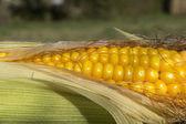 The corn — Stock Photo