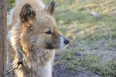 Rode hond — Stockfoto