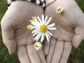 Chamomile in the hands — Stock Photo