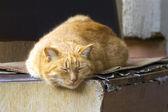 Red cat sleeps — Stock Photo