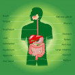 Human digestive system — Stock Photo