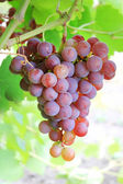 Cluster of fresh ripe red grape with leaves in the garden — Stock Photo