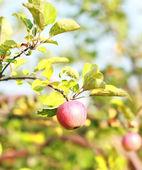 熟透的红苹果 — 图库照片