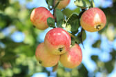 Fresco madura jugosa manzana roja — Foto de Stock