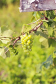 Cluster of green grape — Stock Photo