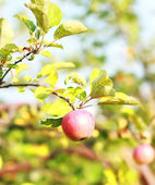 Fresh ripe juicy red apple on the apple tree in a garden — Stock Photo