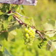 Stock Photo: Cluster of fresh green grape in garden