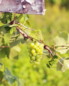 Cluster of fresh green grape in a garden — Stock Photo