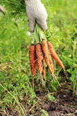 Fresh ripe crunchy carrots in a hand in the garden, selective focus — Stock Photo