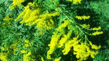 The infamous goldenrod