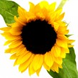 Single Sunflower bloom - Stock Photo