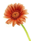 Single Stem Gerbera Flower — Stock Photo