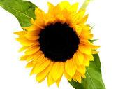 Single Sunflower bloom — Stock Photo