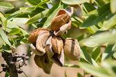 アーモンドの木 — Stockfoto