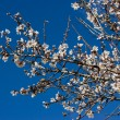 Almond Blossom - Stock Photo