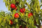 Peach tree — Stock Photo