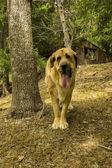 Mastin Leones, breed of dog of Leon, Spain — Zdjęcie stockowe