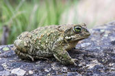 Natterjack Toad (Epidalea calamita) — Stock Photo