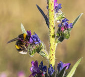 The White-Tailed bumblebee (Bombus lucorum) collecting pollen an — 图库照片